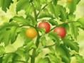 Tomaten schmecken nur, wenn sie schön saftig und rot sind. Dann ist der richtige Zeitpunkt, sie zu e
